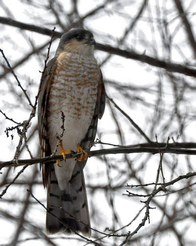 diagnosis sharp shinned hawk the zen birdfeeder