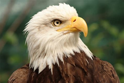 Bald Eagle Images 14 Bold Facts About Bald Eagles Mental Floss