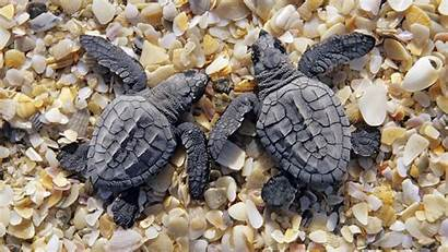 Turtle Turtles Beach Wallpapers Young Sea Backgrounds