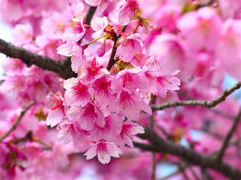 cherry blossom tree l romantic flowers cherry blossom flower
