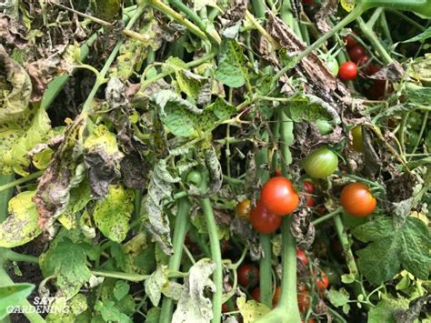 Tomato Plant Disease How To Identify And Control Tomato