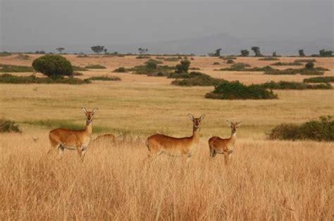 Uganda Kobs in fraai savanne landschap | Foto | AenAinA