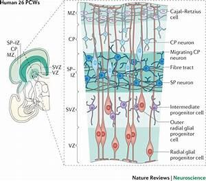Cerebral Cortex  Development