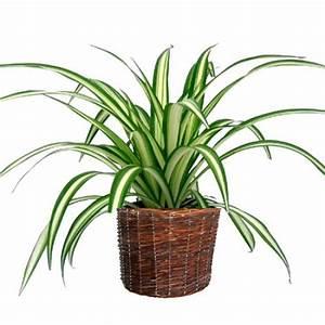 Grande Plante D Intérieur Facile D Entretien : les plantes grasses d int rieur le chlorophytum ~ Premium-room.com Idées de Décoration