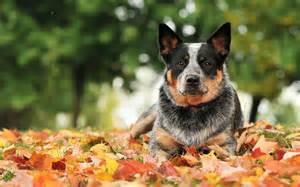 australijski pies pasterski australian cattle dog