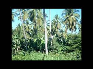 Mexico Vacations Harvesting Coconuts - YouTube