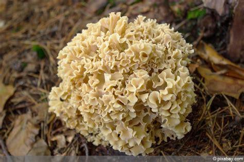 Maronen Pilze Im Garten by Beliebte Waldpilze Essbare Pilze Erkennen Fotos