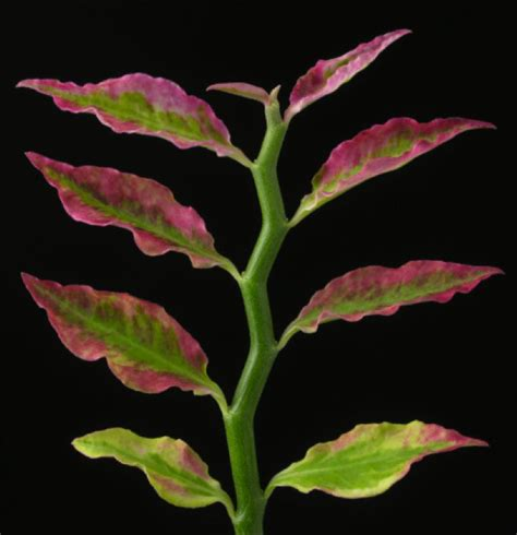 pedilanthus tithymaloides variegated devils backbone zig