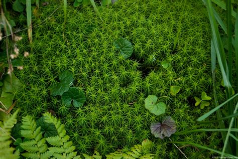 mosses plants star moss