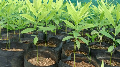 sandalwood seedlings  seeds  sale karnataka india