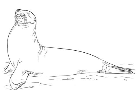coloring pages sea lions printable  kids adults