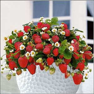Erdbeeren Wann Pflanzen : erdbeeren pflanzen balkon abstand balkon house und dekor galerie rga7lv343o ~ Frokenaadalensverden.com Haus und Dekorationen