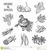 Herbs Spices Hand Illustration Coloring Pages Printable Drawing Sketched Template Sketch Menus Packing Drawn Elements Shutterstock Recipes Line Background Pear sketch template