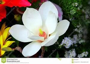 Fleur De Magnolia : fleur blanche de magnolia image stock image du normal ~ Melissatoandfro.com Idées de Décoration