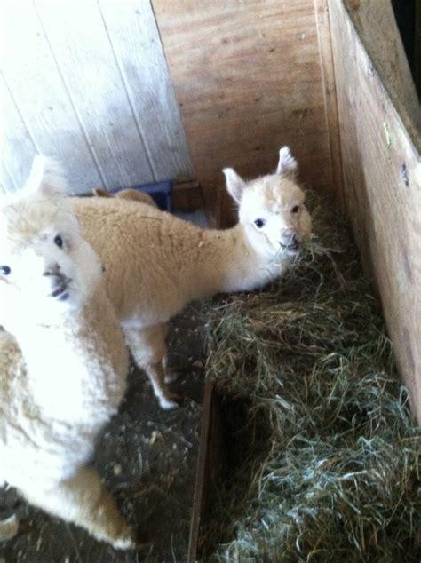 cria alpaca feeder hay creep wild ziva bells enjoying david