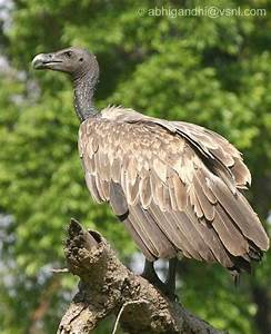 Related Keywords & Suggestions for slender billed vulture