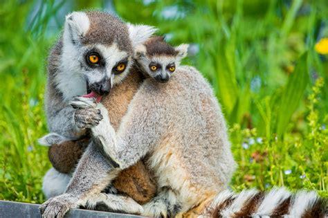Summer Animal Wallpaper - wallpaper lemurs lemur animals animals summer
