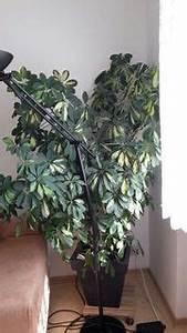 Zimmerpflanze Große Blätter : grosse zimmerpflanzen pflanzen garten g nstige ~ Lizthompson.info Haus und Dekorationen