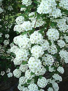 Flowers And Nature In My Garden  Spirea Japonica  U0026quot Bridal