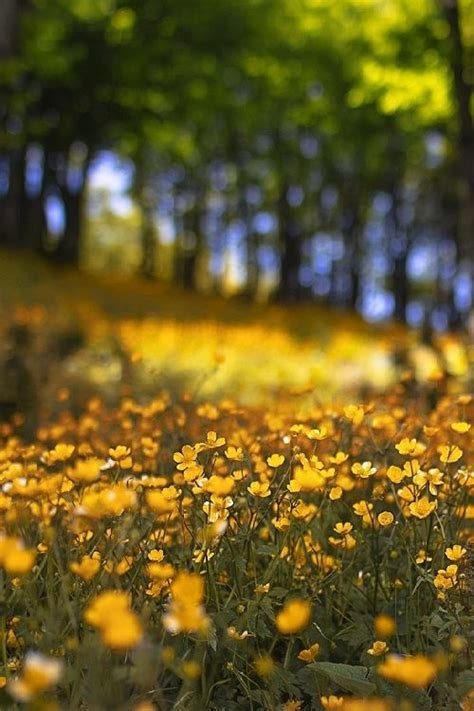 Field Of Yellow Flowers Pictures, Photos, and Images for