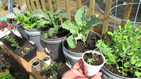Growing Kale & Collards In Containers