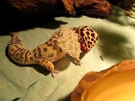 leopard gecko shedding skin 2 2 youtube