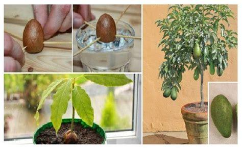 comment faire pousser votre propre avocat arbre dans le petit jardin pot trucs et tutos
