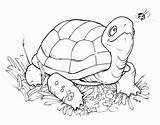 Coloring Turtle Tortugas Turtles Colorear Cartoon Dibujos Digital Stamps Printable Colouring Animal Ninja Pintar Tortuga Digi Stamp Adult Bird Google sketch template