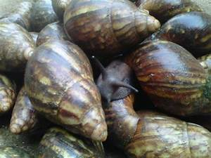 Swot Analysis Sample Snail Farming Business Plan In Nigeria How To Start A