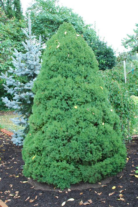 alberta spruce enjoy a mite free alberta spruce this summer what grows there hugh conlon horticulturalist