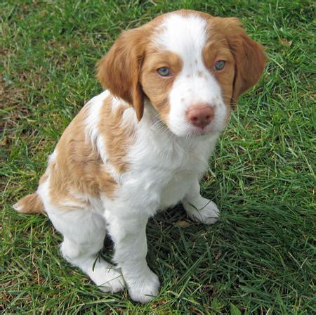 brittany spaniel puppy this is the pup i want yes don