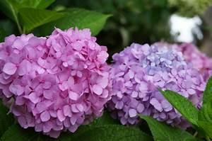 Welche Erde Für Hortensien : mit hortensien akzente im garten setzen ~ Eleganceandgraceweddings.com Haus und Dekorationen