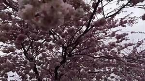 Rosa Blüten Baum : rosa bl ten am baum im winde youtube ~ Yasmunasinghe.com Haus und Dekorationen