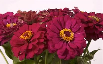 Flowers Daisy Flower Desktop Wallpapers Close Zinnia