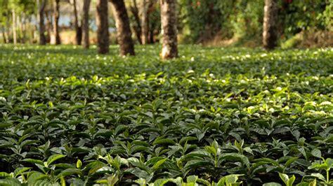 Arbor Day Blog • Tree Care & Planting Italian Coffee Machines Perth Best Instant White Singapore Premix Chemex Filter Folding Maker Tips Called Moka Pot Oil Supermarket