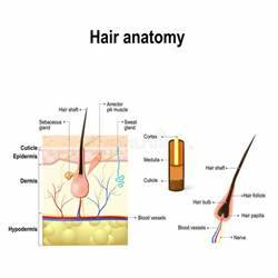Diagram Of A Hair Follicle In A Cross Section Of Skin