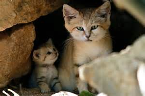 sand cats for birds daffodils sighting of sand cat litter of