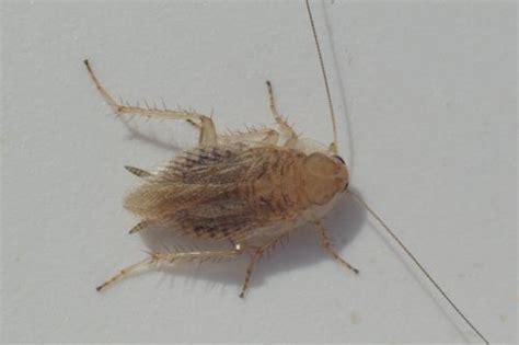 ectobius pallidus m une blatte translucide le monde