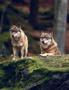 Wolf Spirit Animal Quotes