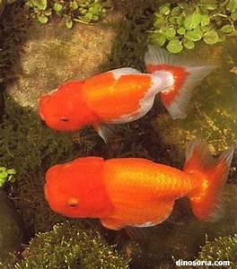 Tete De Buffle : poisson rouge en images dinosoria ~ Teatrodelosmanantiales.com Idées de Décoration