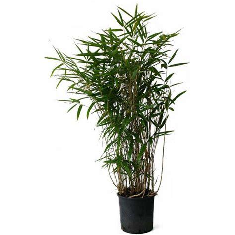 acheter bambou pseudosasa japonica pas cher au meilleur prix