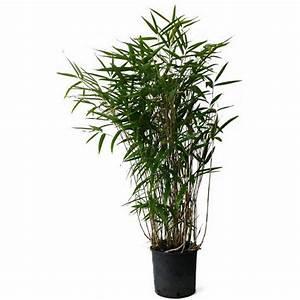 Bambous En Pot : acheter bambou pseudosasa japonica pas cher au meilleur prix ~ Melissatoandfro.com Idées de Décoration