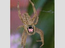 Yellow Garden Spiders Poisonous Garden Ftempo