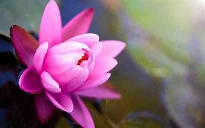 Lotus Flower Symbol Wallpapers Flowers Rose Sen