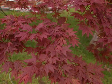 where to plant a japanese maple the basics on japanese maples hgtv