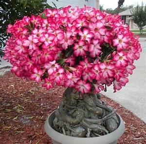 Como Cultivar Flor do Deserto: Fotos, Dicas, Informações