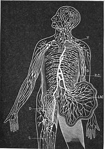 Movement Of The Lymph