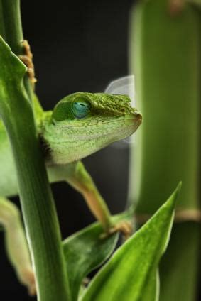 green anoles  pets lovetoknow