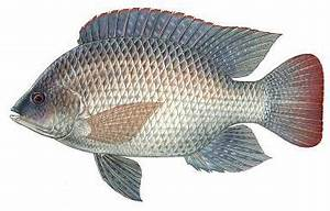 Tilapia - Florida Freshwater Fish also called Blue Tilapia