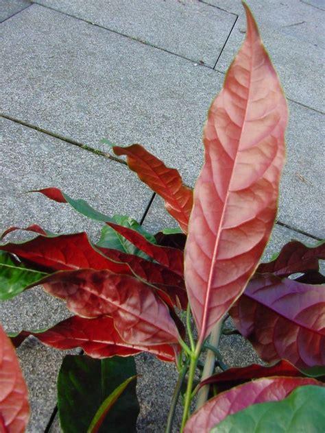 Zimmerpflanze Rot Grüne Blätter by Bild